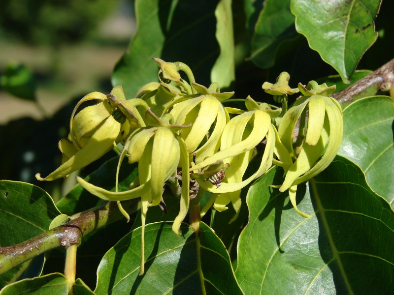 Ylang Ylang For Natural Hair